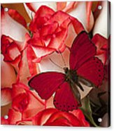 Red Butterfly On Blush Roses Acrylic Print
