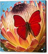 Red Butterfly On Protea Acrylic Print
