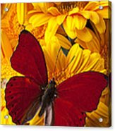 Red Butterfly On Yellow Gerbera Daisies  Acrylic Print