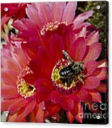 Red Cactus Flower With Bumble Bee Acrylic Print
