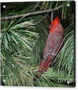 Red Cardinal In Green Pine Acrylic Print