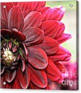 Red Carpet Dahlia Acrylic Print