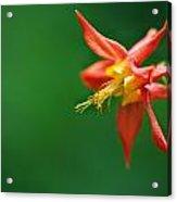 Red Columbine Aquilegia Formosa Acrylic Print
