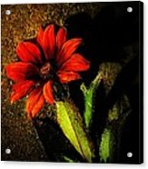Red Coneflower Acrylic Print