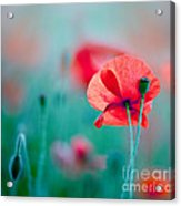 Red Corn Poppy Flowers 04 Acrylic Print