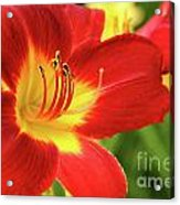 Red Day Lily Acrylic Print