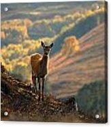 Red Deer Calf Acrylic Print