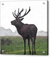Red Deer Painting Acrylic Print