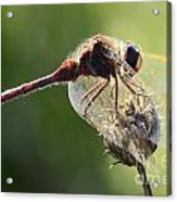 Red Dragonfly  Acrylic Print