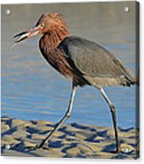 Red Egret With Fish Acrylic Print