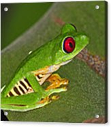 Red-eyed Leaf Frog Acrylic Print by Tony Beck