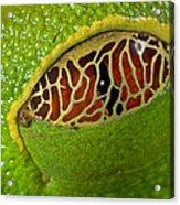 Red Eyed Tree Frog Eyelid Costa Rica Acrylic Print