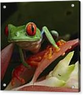 Red-eyed Tree Frog In Costa Rica Acrylic Print