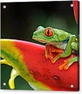 Red-eyed Tree Frog Acrylic Print