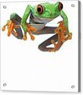 Red-eyed Treefrog Acrylic Print