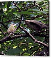 Red-eyed Vireo Feeding Cowbird Fledgling Acrylic Print