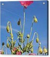 Red Flower Against Blue Sky Acrylic Print