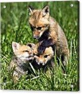 Red Fox Babies - D006647 Acrylic Print