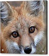 Red Fox 352 Acrylic Print
