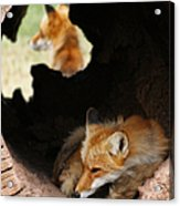 Red Fox Dreaming Acrylic Print