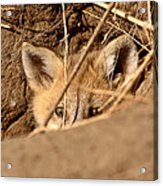 Red Fox Pup Peaking Out Of Den Acrylic Print