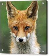 Red Fox Vulpes Vulpes, Hoge Veluwe Acrylic Print