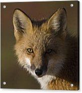 Red Fox Vulpes Vulpes Portrait, Alaska Acrylic Print