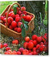 Red Fresh Plums In The Basket Acrylic Print