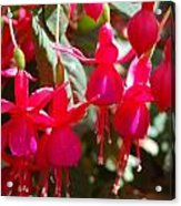 Red Fuchsias Acrylic Print