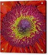 Red Gerber Daisy Acrylic Print