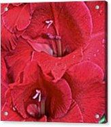 Red Gladiolus Acrylic Print by Susan Herber