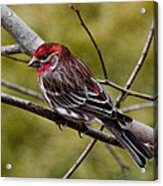 Red Head Black Tail Acrylic Print