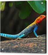 Red-headed Agama Acrylic Print