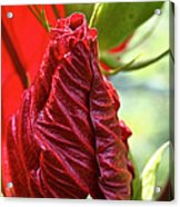 Red Hibiscus Torch Acrylic Print