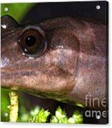 Red Hills Salamander Acrylic Print