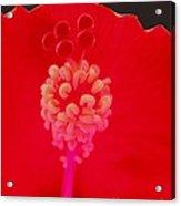 Red Hot Hibiscus Acrylic Print