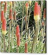 Red Hot Poker (kniphofia 'atlanta') Acrylic Print