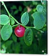 Red Huckleberry Acrylic Print