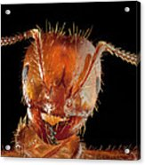 Red Imported Fire Ant Solenopsis Acrylic Print