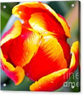 Red In A Tulip Acrylic Print