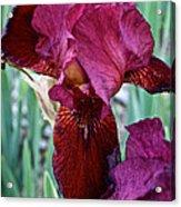 Red Iris Duo Acrylic Print