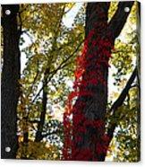 Red Ivy Climb Acrylic Print