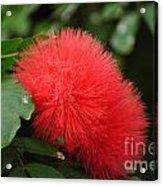 Red Koosh Ball Flowers Acrylic Print