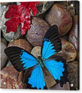 Red Leaf And Blue Butterfly Acrylic Print