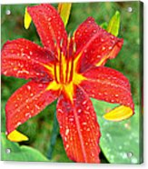Red Lily Acrylic Print