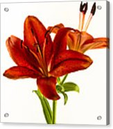 Red Lily Number One Square Acrylic Print
