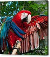 Red Macaw Acrylic Print