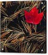 Red Maple Leaf On Pine Needles In Pool Acrylic Print by Mike Grandmailson
