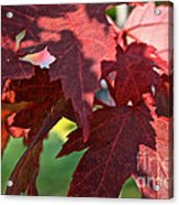 Red Maple Acrylic Print