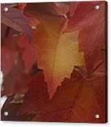 Red Maple With A Splash Of Gold Acrylic Print